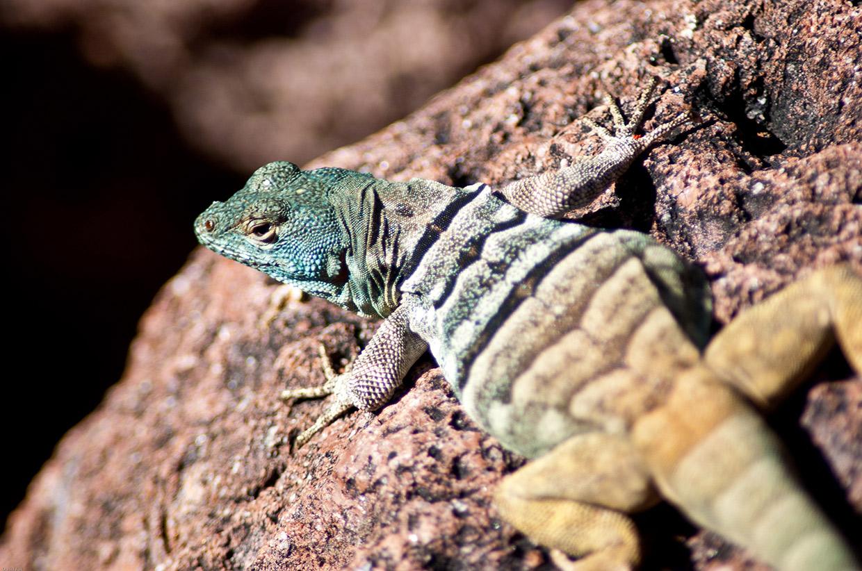 lizard on Isla Espiritu Santo