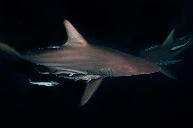 Black Tip Shark - Aaron Gekoski