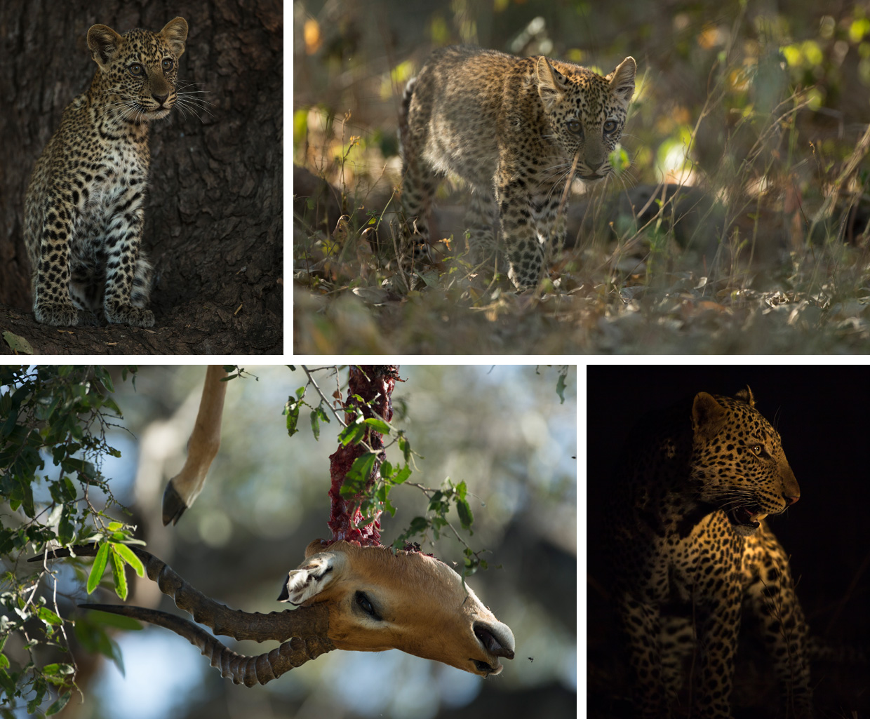 Living With Leopards. Photo by Luke Massey