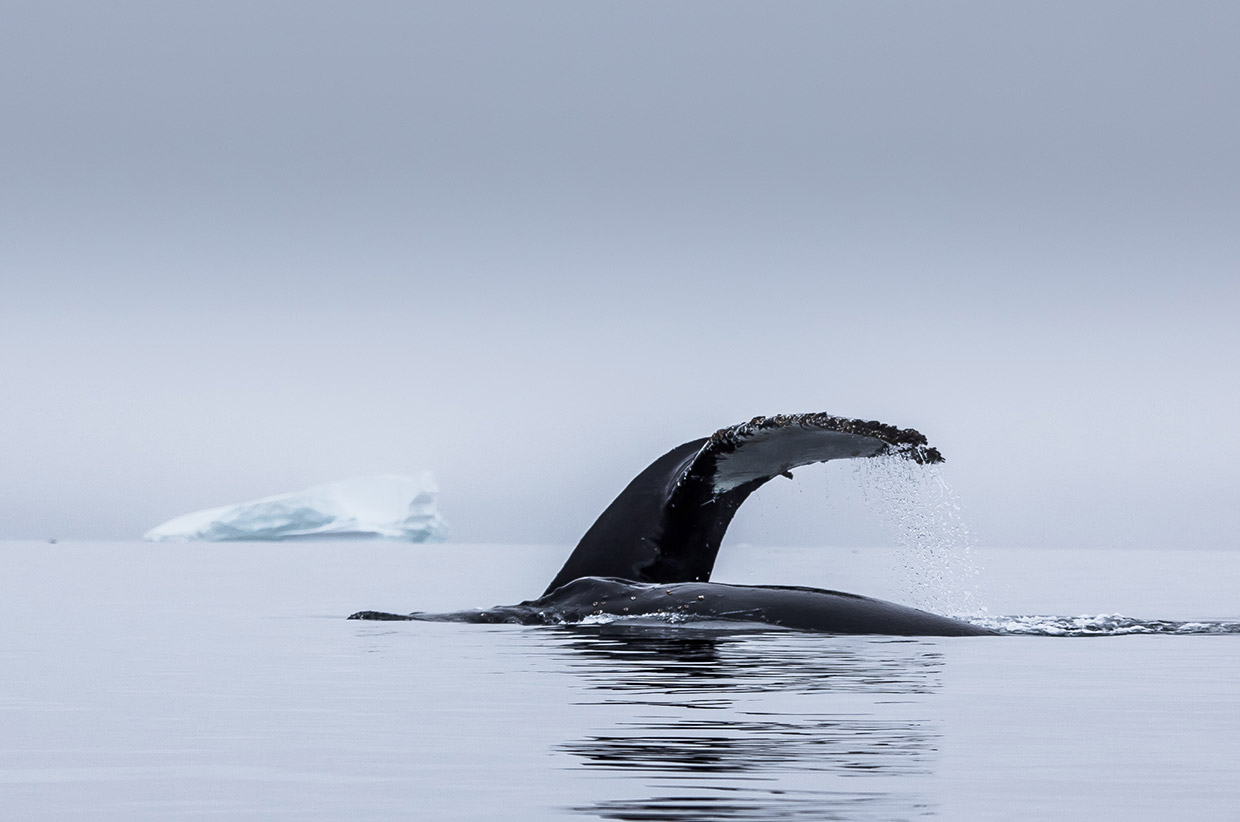 A whale in Antarctica