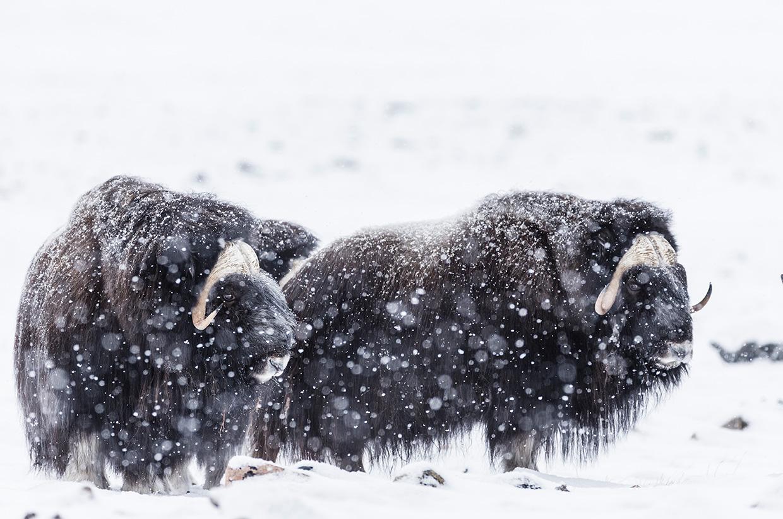 Arctic Survivors