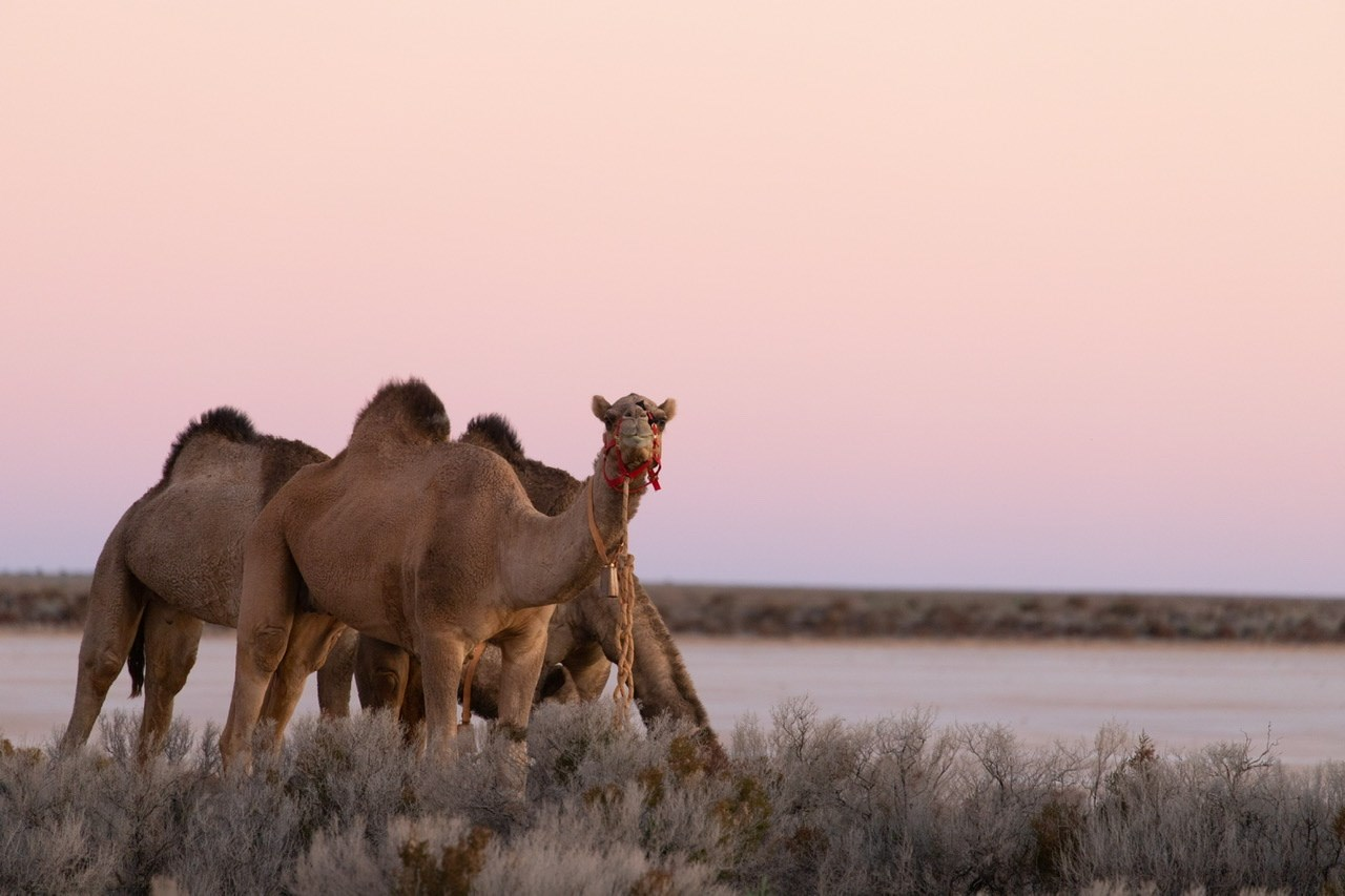 Crossing Australia: Sophie Matterson and her five camels