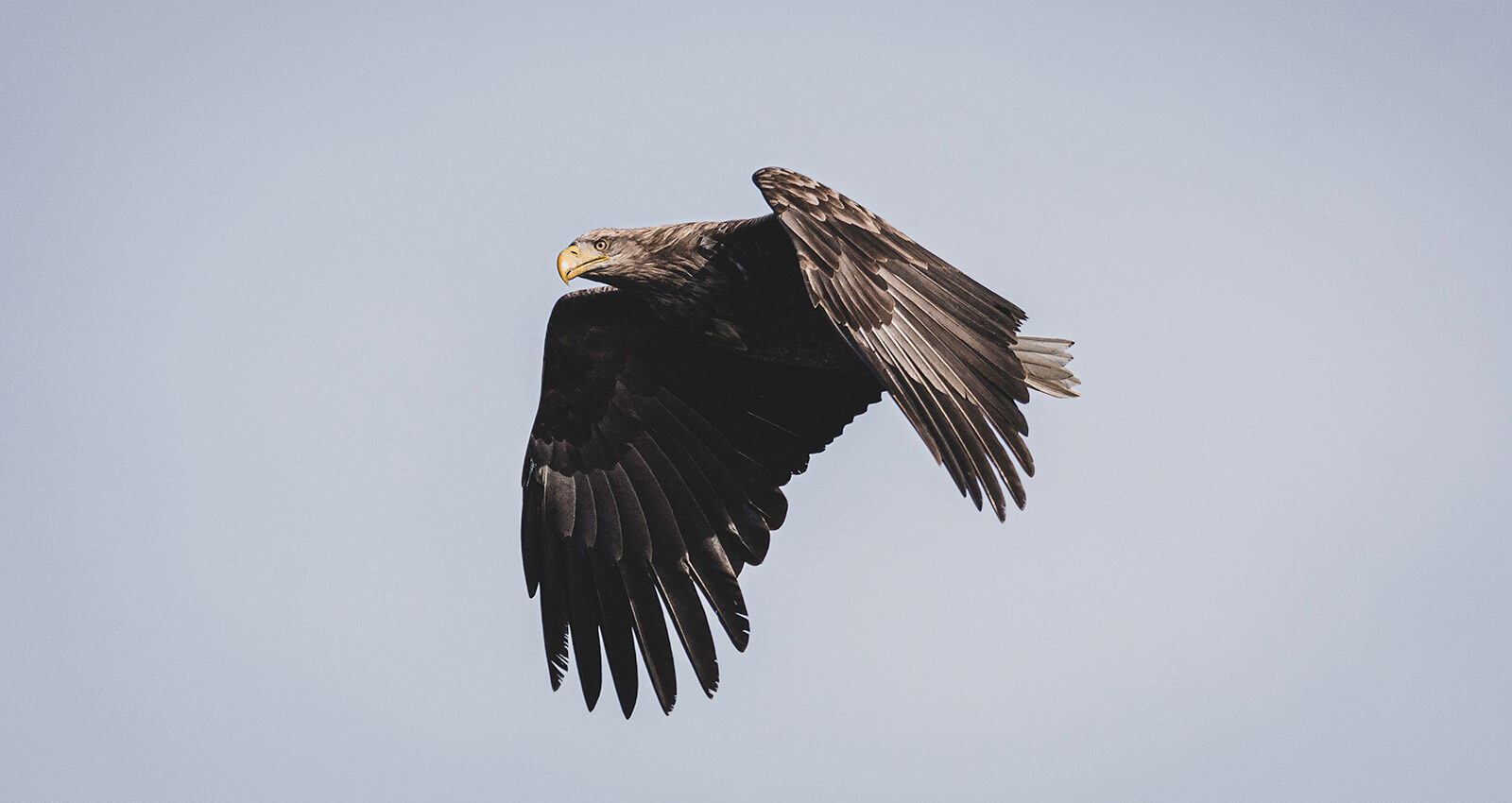 In Search of the Golden Eagle